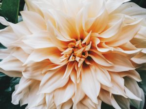 Cream colored flower